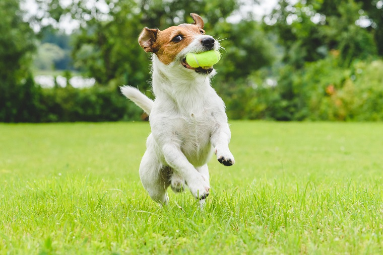 """best-breeds-running-dogs-Jack-Russells """"width ="""" 760 """"height ="""" 507 """"srcset ="""" https: // casaydiseno .com / wp-content / uploads / 2019/05 / best-races-run-dogs-Jack-Russells.jpg 760w, https://casaydiseno.com/wp-content/uploads/2019/05/mejores-razas- run-dogs-Jack-Russells-720x480.jpg 720w """"tamanhos ="""" (max-width: 760px) 100vw, 760px """"/> </p> <h3 style="""