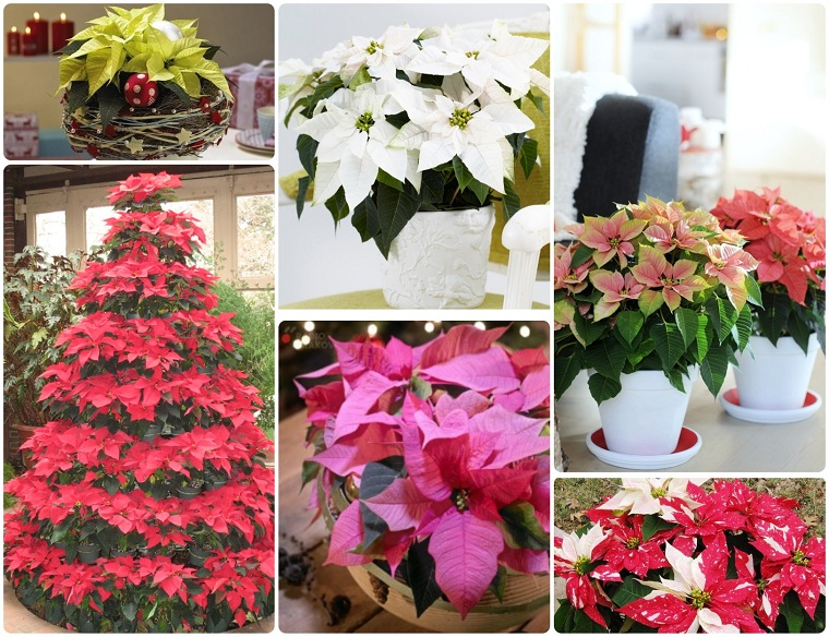 Christmas-flower-care-varied