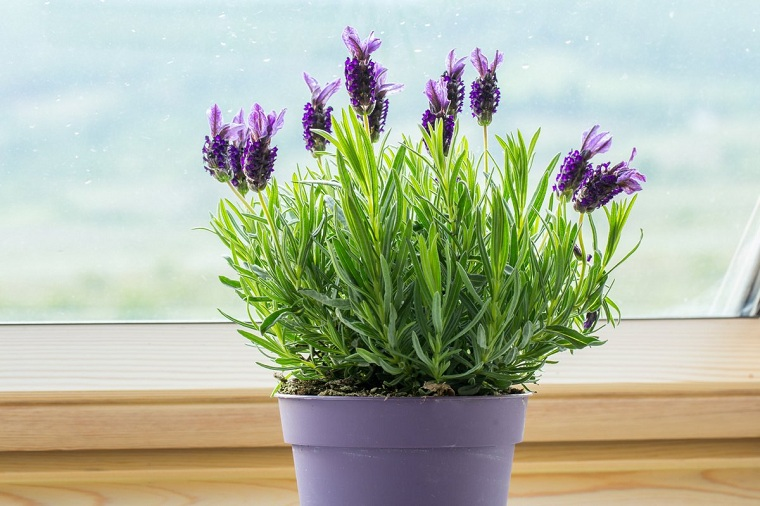 Lavender growth-tips-growth-style